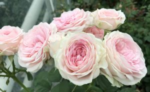 Rosa Loves Me® with Fatal Attraction (VIK-16-096)