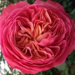 Rosa Loves Me® With Heart and Soul (VIK-9-24)