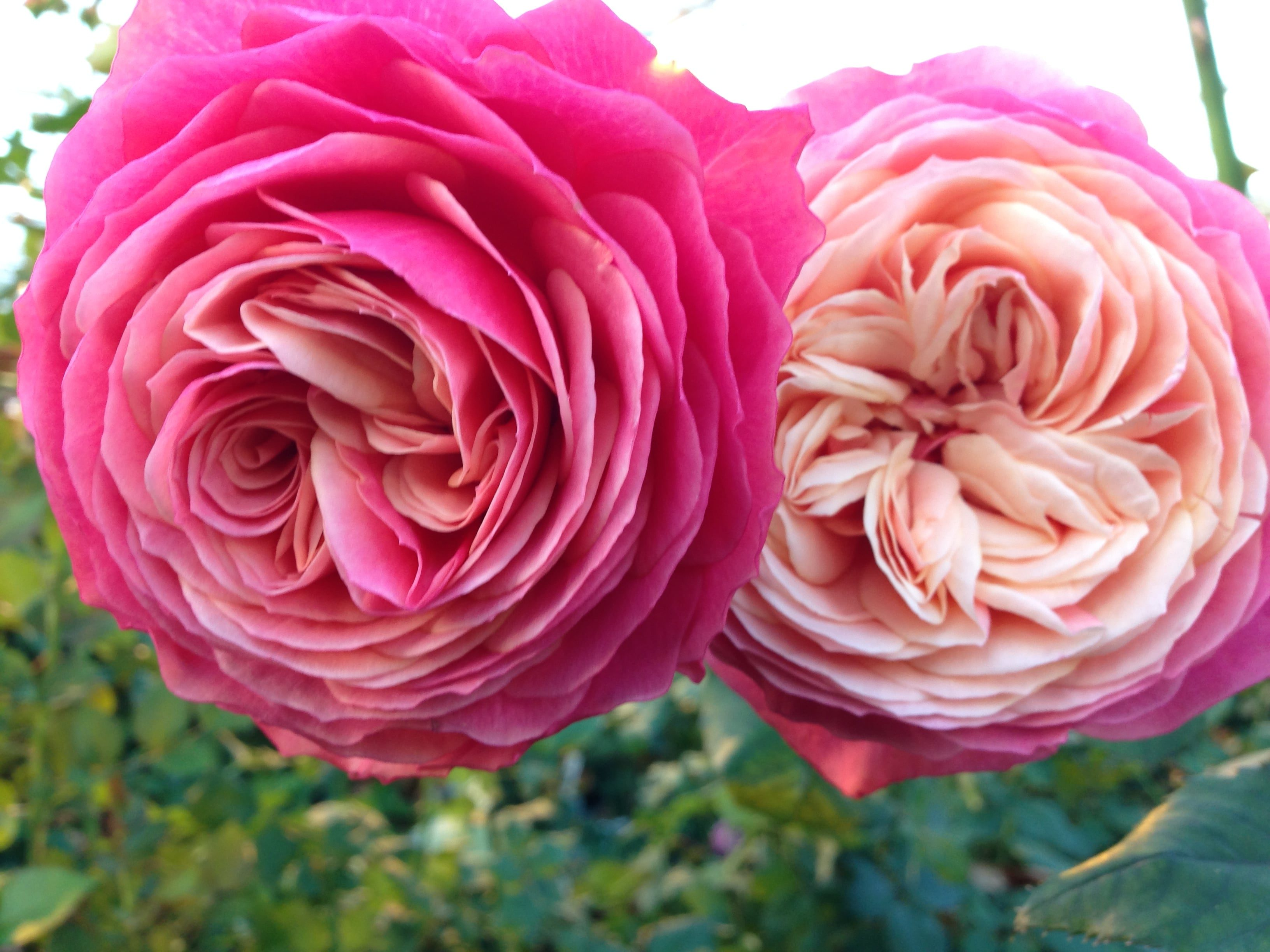 Rosa Loves Me 174 With Heart And Soul Viking Roses